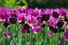 Tulip Combination:  Purple Dream'