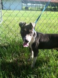 Skipper is an adoptable Staffordshire Bull Terrier Dog in Chipley, FL. This is 'skipper' male, Staffordshire bull terrier mix, he is young only around 5-6 months old and 14-15lbs he has loads of energ...