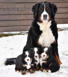 A lovely Bernese Mountain Dogs family from Helsinki, Finland Cute Dogs And Puppies, Big Dogs, Doggies, Funny Puppies, Puppies Puppies, Cute Baby Animals, Animals And Pets, Animals Planet, Strange Animals