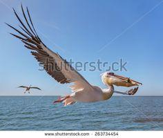 Imagen gratis en Pixabay - Pelícanos, Pelícano, Aves De Agua