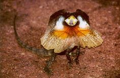 frilled neck lizard - Google Search