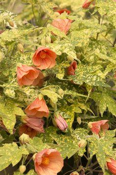 Thompson's Flowering Maple - Abutilon Thompsonii