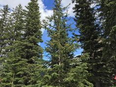 White Spruce Tree is full of cones in the mountain forest. #treestalk #treeseed #seeds