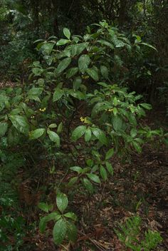 Psychotria loniceroides