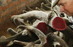 Deer Antler Velvet, Deer Antlers, Muscle Building Supplements, Body Builders, Build Muscle, Athletes, Deer Horns, Gain Muscle, Muscle Building