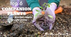 Top 6 Companion Plants to Defend Your Precious Veggies From Harmful Insects