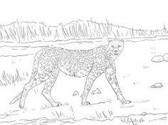 online cheetah coloring pages | lexilu | pinterest