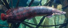 Fisherman was out for fishing but what he found is really terrifying #Arapaima