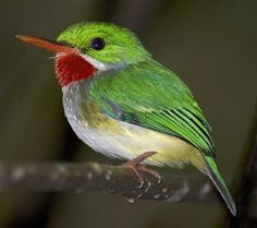 """Puerto Rican Tody, endemic to Puerto Rico. Commonly known as """"San Pedrito"""" (""""Little Saint Peter"""") In forested areas, especially high-altitude damp forests.  BIRDS OF THE WORLD"""