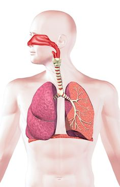 The human respiratory system consists of the lungs and other organs. Its main function is to take in oxygen and carbon dioxide.