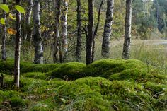 Birches and moss in National Park (Espoo, Finland) Other Countries, Countries Of The World, What A Wonderful World, Moomin Valley, Birches, Main Entrance, Wonders Of The World, Finland, National Parks