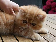 =^..^= ALMERIANS =^..^= Cattery persians & exotics cats =^..^=