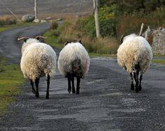 SHEEP...driving through the Irish countryside