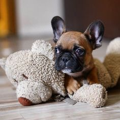 'A Baby for a Baby', French Bulldog Puppy.