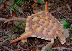 Wow I've never seen a Turtle like this..... Awesome