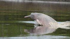 Pink River Dolphin photographed on a tour of the Pacaya Samiria National Reserve aboard the Delfin I luxury cruise, Iquitos, Peru.  http://tourthetropics.com/south-america/amazon-rainforest/peru/iquitos/tours/delfin-i/  #amazonrainforest #travel #nature #wildlifephotography #tourism
