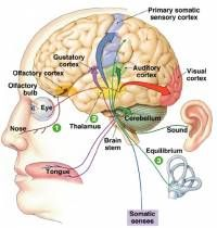 an overview of the five senses that process the information for the human beings Human beings and most other animals use the five senses to crunchy, or dry in summary, the five senses are sight the science process skills.