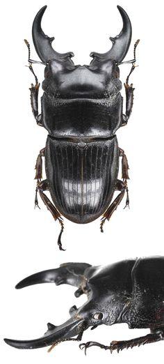 Aegus philippinensis banggaiensis