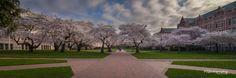 ~The Quad Sakura~ by Mitch Schreiber on 500px
