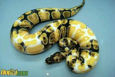 Paradox Albino Ball Python. Amazing colors.