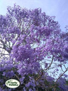 La Jacaranda in fiore di Palazzo Butera Blue Trees, Ficus, Figs, Fig, Ficus Tree