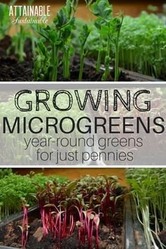 Discover the best microgreens to grow as well as how to grow microgreens indoors with this handy guide to growing wintertime salads. They can cost a small fortune at the supermarket; grow your own at home for pennies!
