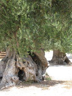 500 year old olive tree, Masseria San Domenico Puglia 2010 ©mirellazolli