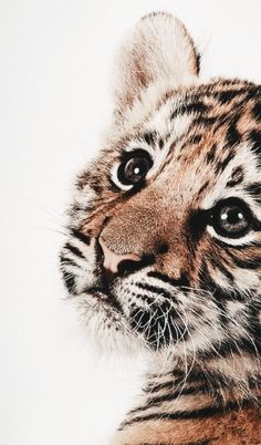 Tiger nursery print Tiger nursery print Tiger nursery print animal animals background iphone wallpaper wallpaper iphone you didn't know existed planet animal drawings and white animal photography animals baby animals animals animals Cute Creatures, Beautiful Creatures, Animals Beautiful, Majestic Animals, Tier Wallpaper, Animal Wallpaper, Puppies Wallpaper, Korea Wallpaper, Wallpaper Samsung
