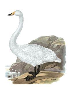 Laulujoutsen, Cygnus cygnus - Linnut - LuontoPortti Swan, Bird, Animals, Animaux, Swans, Animales, Birds, Animal, Dieren