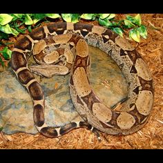 Anerythristic Colombian Red Tail Boa (2010 Female)