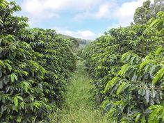Hier beginnt Kaffe: Brasilien, Minas Gerais; São Gonçalo do Sapucaí  Novo Mondo, Sítio Boa Vista