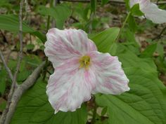Candy striped Trillium grandiflorum. Seen this year at Tackett Creek, Campbell County,  Tennessee  -  http://cumberlandgal.blogspot.com/2013/05/hybrid-trilliums.html