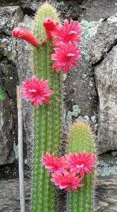 Cactus Plant Pots, Cacti And Succulents, Planting Succulents, Planting Flowers, South African Flowers, Cactus Blossoms, Cactus Y Suculentas, Flower Aesthetic, Unusual Plants