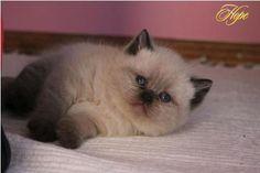 Britské mačky colorpoint - Joy of Life