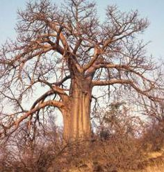 Baobab - A Potential Cosmetic Goldmine - Truth In Aging