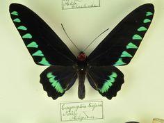 Palawan Birdwing or Triangle Birdwing, male. Butterfly Species, Palawan, Beautiful Butterflies, Dragonflies, Insects, Triangle, Nature, Butterflies, Animals