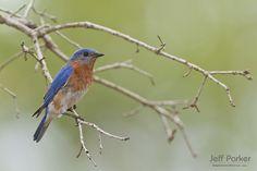 Eastern Bluebird (Sialia sialis); © Jeff Parker / ExploreinFocus.com