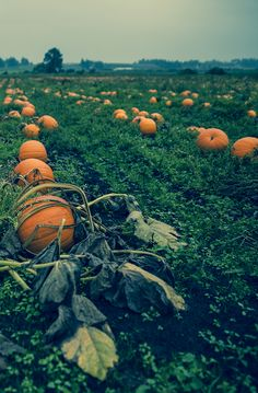 Corn mazes, haunted houses, pumpkin patches, ghost tours and more in British Columbia's haunted capital #Halloween #VictoriaBOO #Haunted #VictoriaBC #exploreVictoria | www.tourismvictoria.com