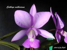 CATTLEYA WALKERIANA ORCHID - Sweetly Scented Of Vanilla & Cinnamon