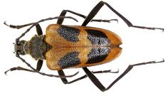 Longhorn Beetle, Spinning, Insects, Chocolate Candies, Biscuits