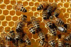Huir de las abejas es la constante, el pánico nos invade cuando hay una abeja merodeándonos en el parque. Es que acaso ¿quién quiere sufrir el piquete de abeja? Podría resultar doloroso, incluso algunas personas son alérgicas a ellas y pueden experimentar fuertes episodios qu