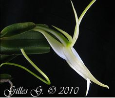 Angraecum dollii - In Side-view Most Beautiful Flowers, Rare Flowers, Orchid Flowers, Types Of Orchids, Ways To Show Love, All Plants, Botany, Habitats, Plant Leaves