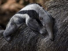 National Zoo Giant Anteater Baby by Smithsonian's National Zoo: Baby anteaters are carried on Mom's back until weaning. #Giant_Anteater