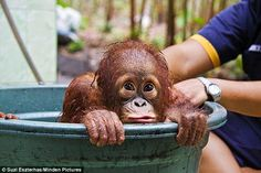 Where Do Sumatran Orangutans Live | ... Sumatran Orangutang Society ... www.orangutans-sos.org/ Sumatran