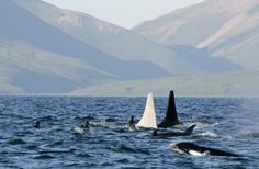 (albino orca!!!) Iceberg swims alongside another large Orca, thought to be the pod's matriarch.