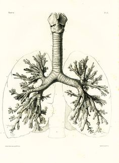 Authentic Large size lithograph. Trachea. Lungs Anatomy Art Poster - Vintage Lungs Book Plate Illustration Print - Antique Lungs Diagram Poster - Human Biology Student Gif... #bourgery #windpipe #trachea