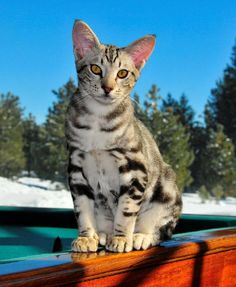 1000+ images about Cats Ocicat on Pinterest   Ocicat, Cat wallpaper ... Usual Abyssinian Kittens