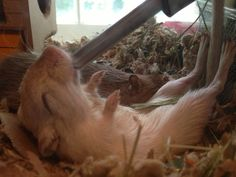 Gerbil drinking from water bottle while lying on his back.