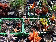 良いお日柄で。  #cacti#cactus#caudex#succulents #succulent#サボテン#多肉植物#多肉 #plant#plants#植物#アマザラシステム #変態アロエ党#変態サボテン党