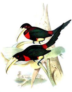 Pteroglossus 4. Pteroglossus azara